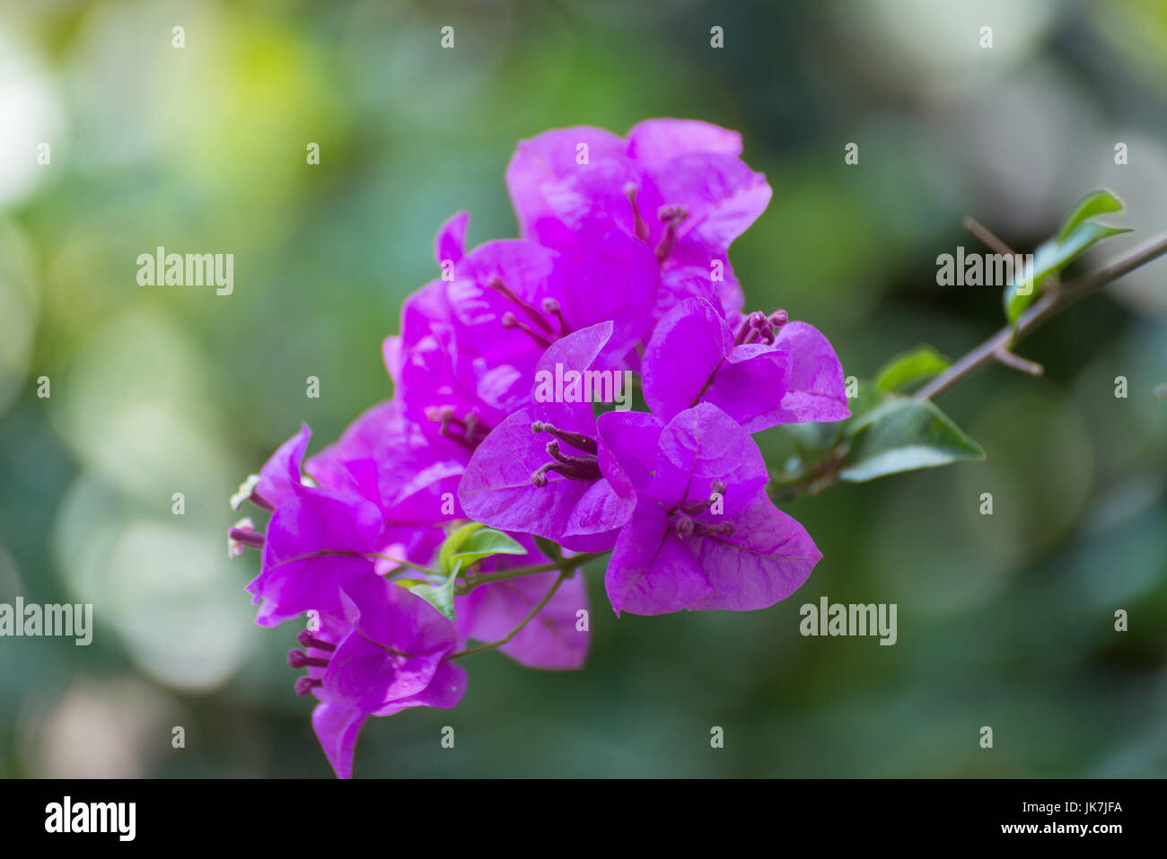 Pink bougainvillea flower or paper flower with leaves in the garden pink bougainvillea flower or paper flower with leaves in the garden plant background blurry asian flowers shallow focus mightylinksfo