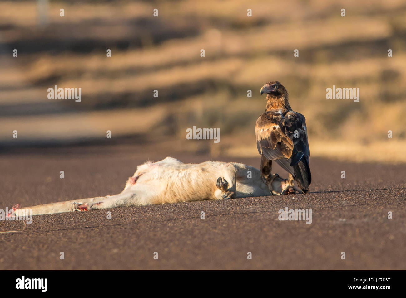 Wedge-tailed Eagle, Aquila audax and Roadkill - Stock Image