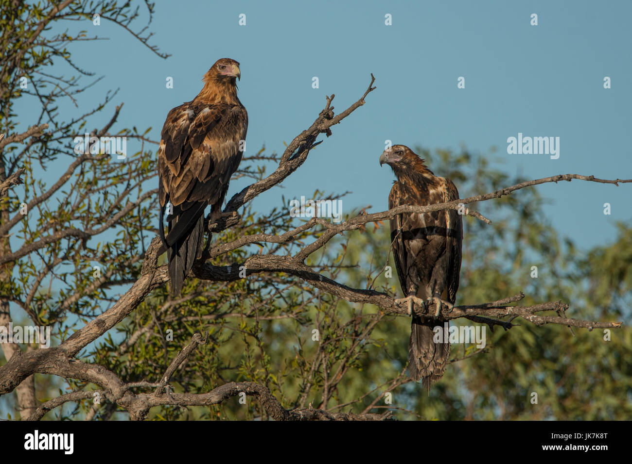 Wedge-tailed Eagles, Aquila audax near Burketown - Stock Image