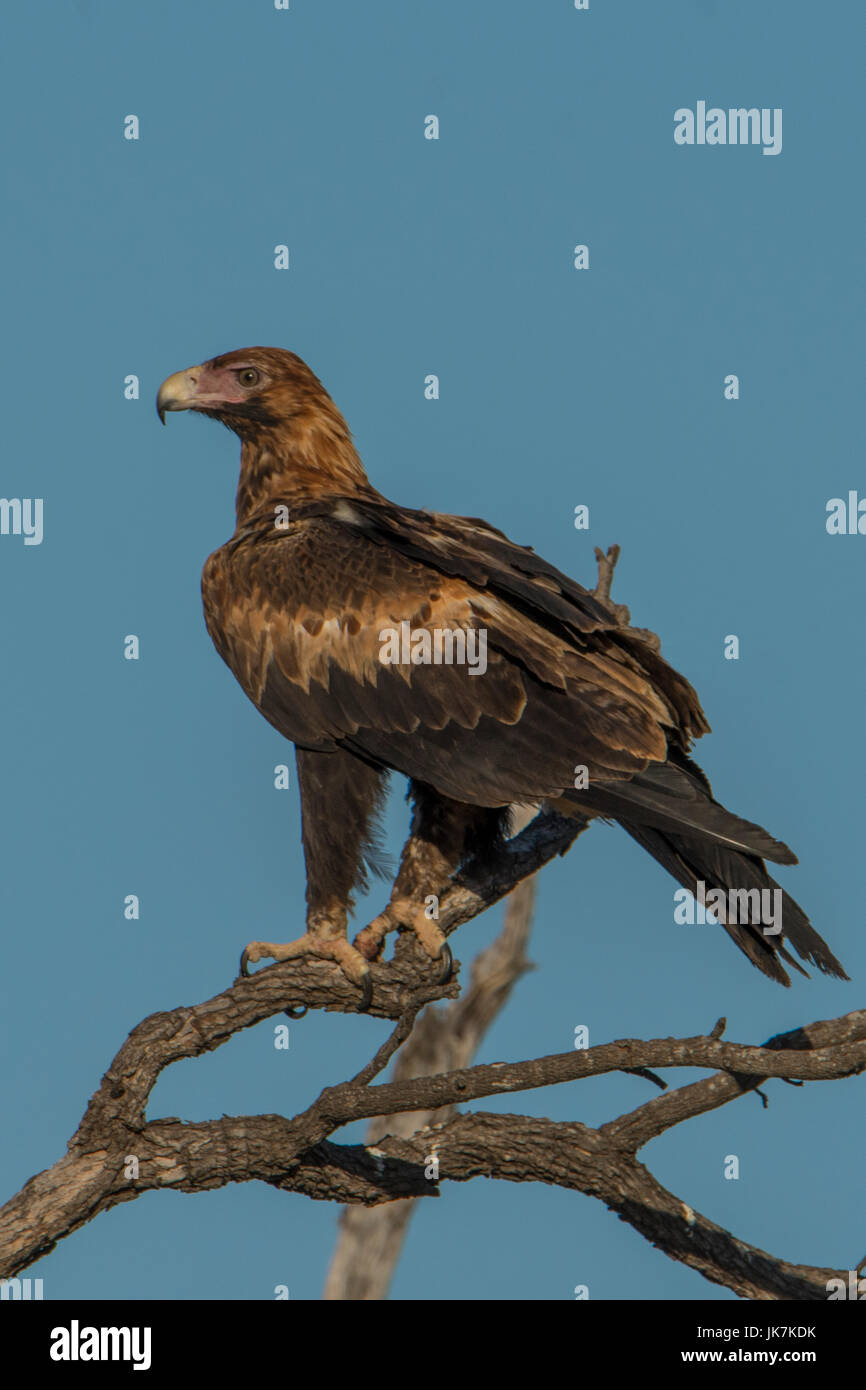 Wedge-tailed Eagle, Aquila audax near Burketown - Stock Image