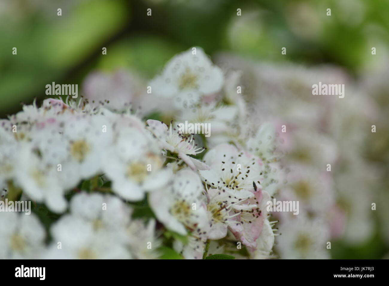 White flowered bush backgrounds stock photo 149533611 alamy white flowered bush backgrounds mightylinksfo
