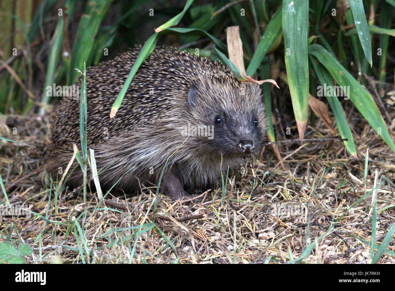A close up photograph of a European Hedgehog in an urban garden, with long grass behind and seed on the ground - Stock Image