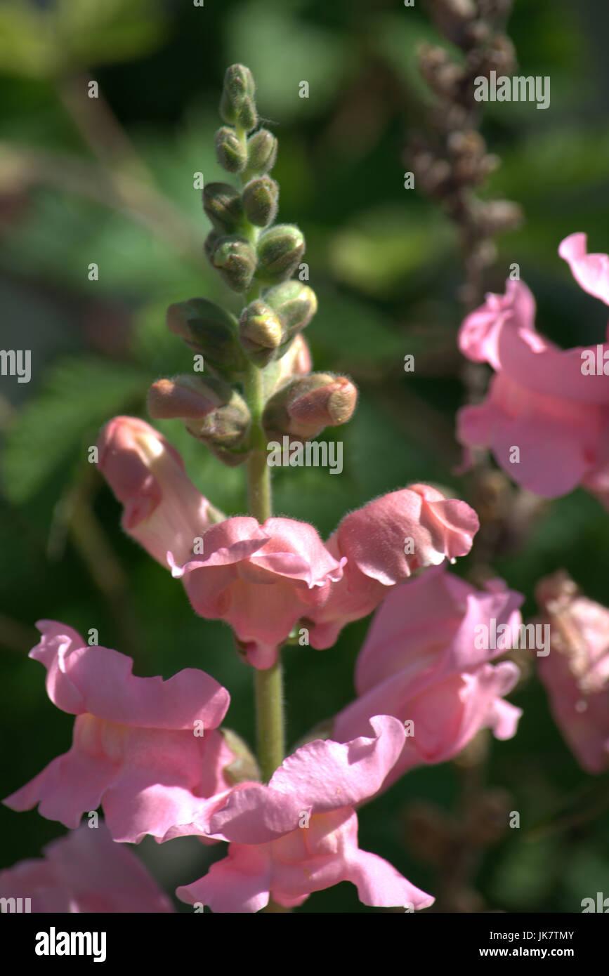Pink Snapdragon Flowers Antirrhinum Stock Photo 149534475 Alamy