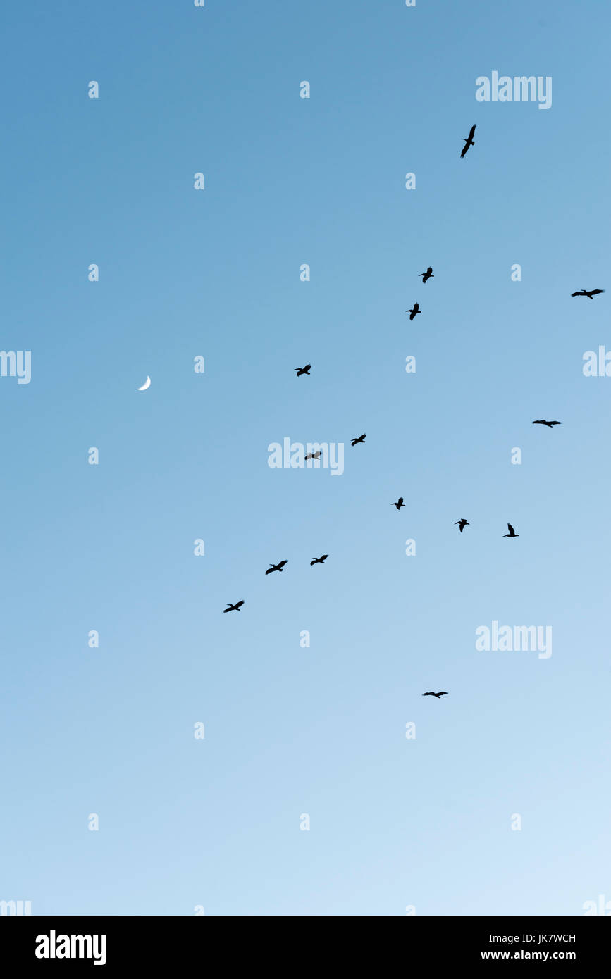 Sea birds float in the thermal draft with the moon in the sky. - Stock Image