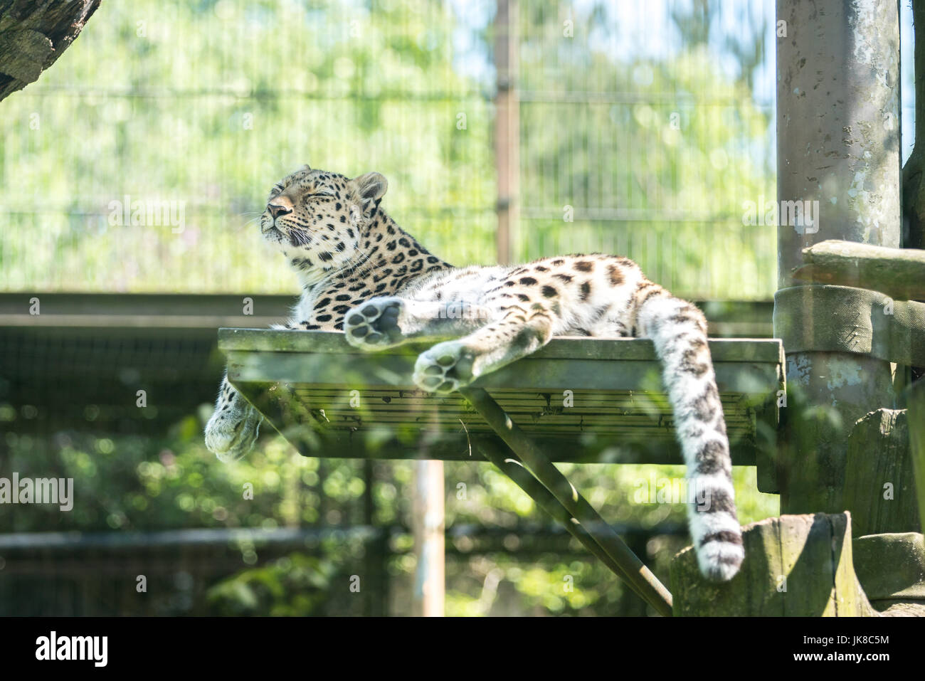 Amur Leopard (Panthera pardus orientalis) relaxing on a small platform - Stock Image