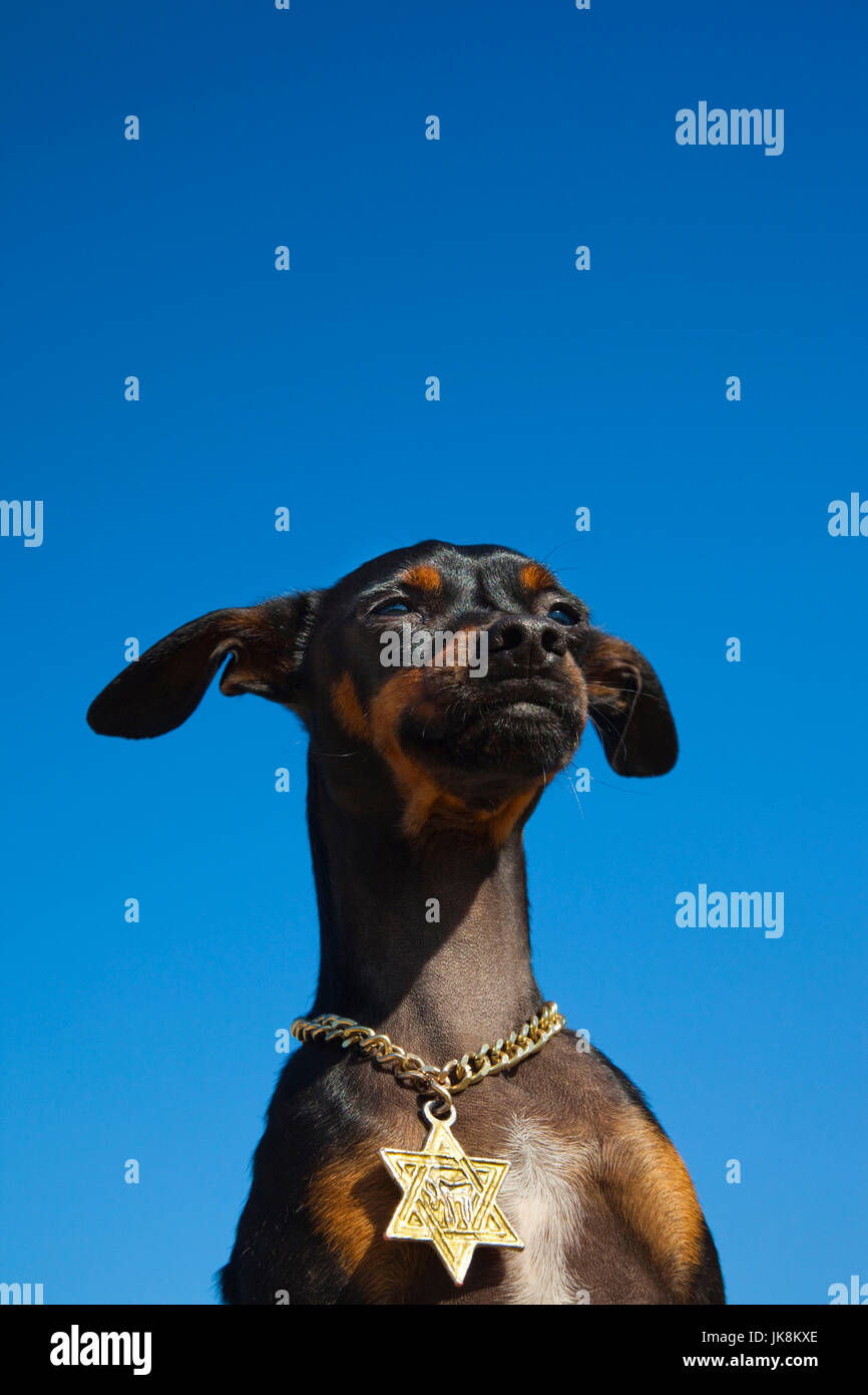 Israel, Tel Aviv, small dog with Jewish Star of David medallion, R, MR_ISL_11_001 - Stock Image