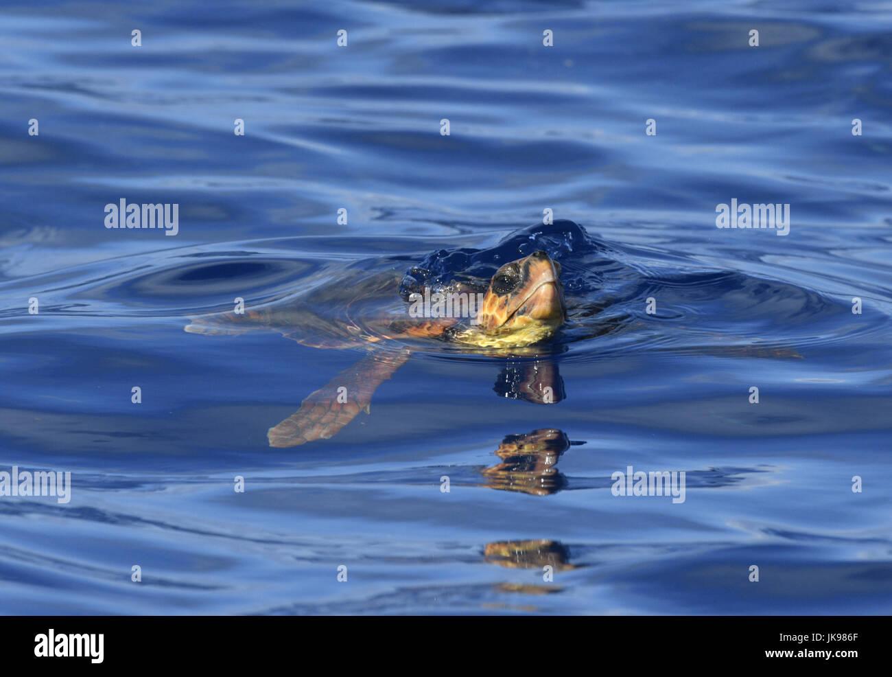 Loggerhead Turtle - Caretta caretta - Stock Image