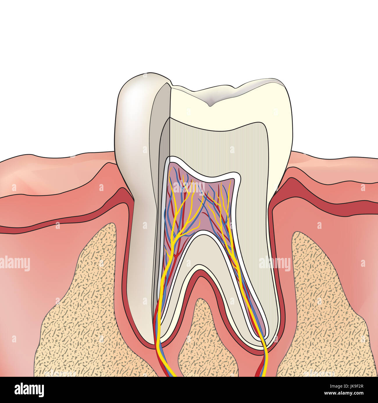 Tooth structure. Anatomy of teeth. Dental medical illustration Stock ...