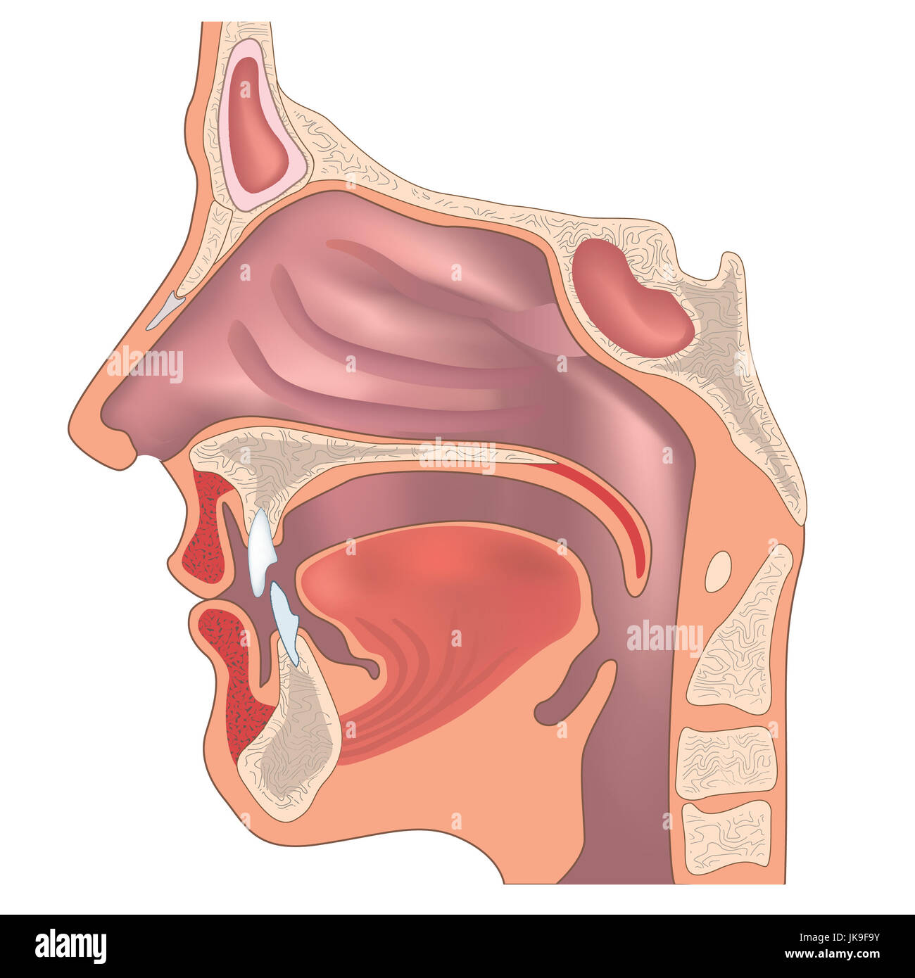 Anatomy of the nose and throat. Human organ structure. Medical sign ...
