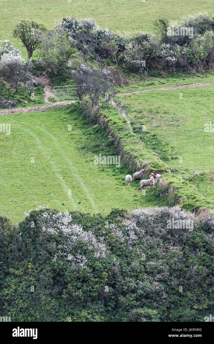 Sheep seen next to a Cornish hedgerow - hedgerows being valuable wildlife habitats as well as being windbreaks and Stock Photo