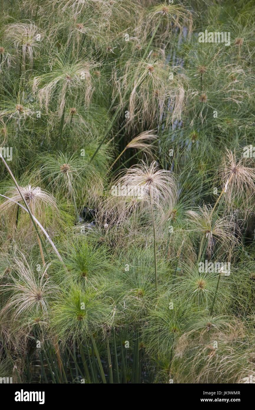 Papyrusstauden, Detail,    Natur, Botanik, Vegetation, Pflanzen, Papierstauden, Cyperus papyrus, Zypergras, Gräser, Stock Photo