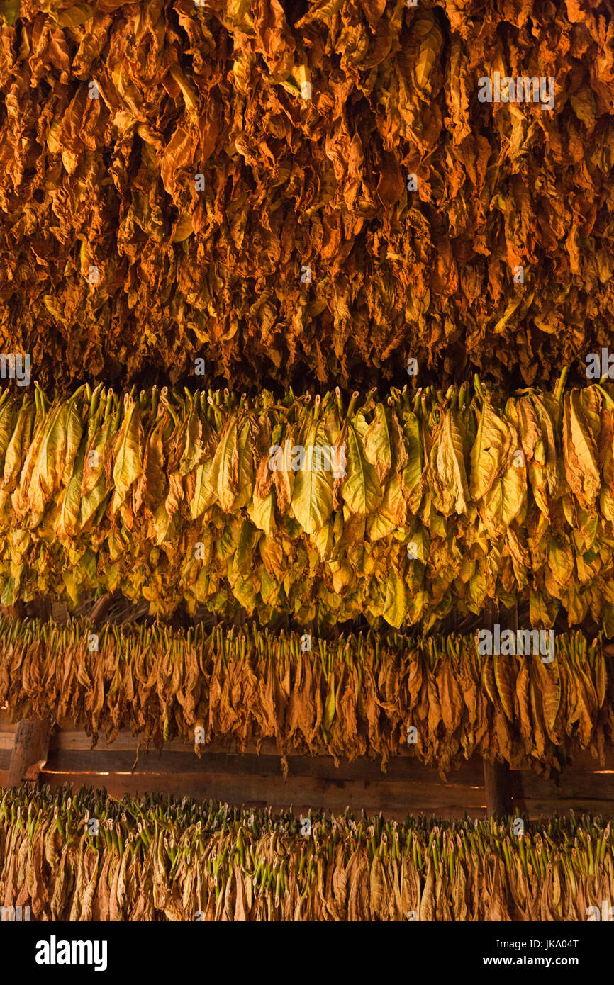 Cuba, Pinar del Rio Province, Vinales, Vinales Valley, curing tobacco leaves - Stock Image