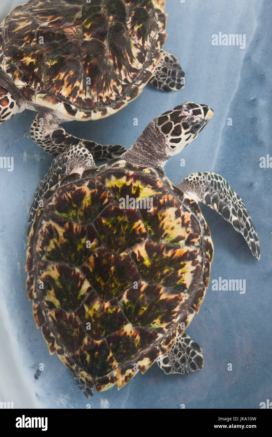 St. Vincent and the Grenadines, Bequia, Park Bay, Old Hegg Sea Turtle Sanctuary, mature sea turtle, cryptodira, - Stock Image