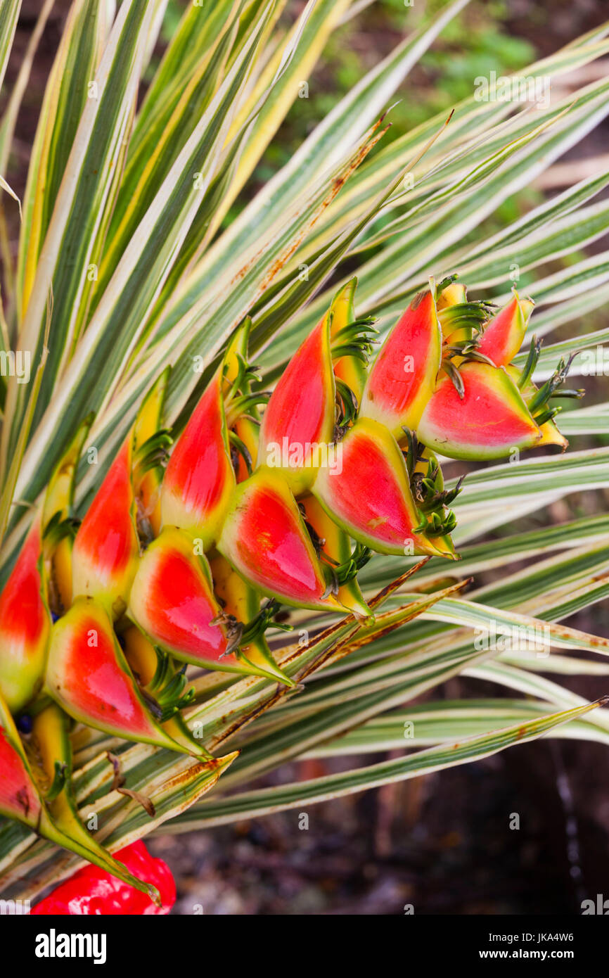 Dominica, Roseau, tropical vegetation, heliconia, heliconiaceae - Stock Image