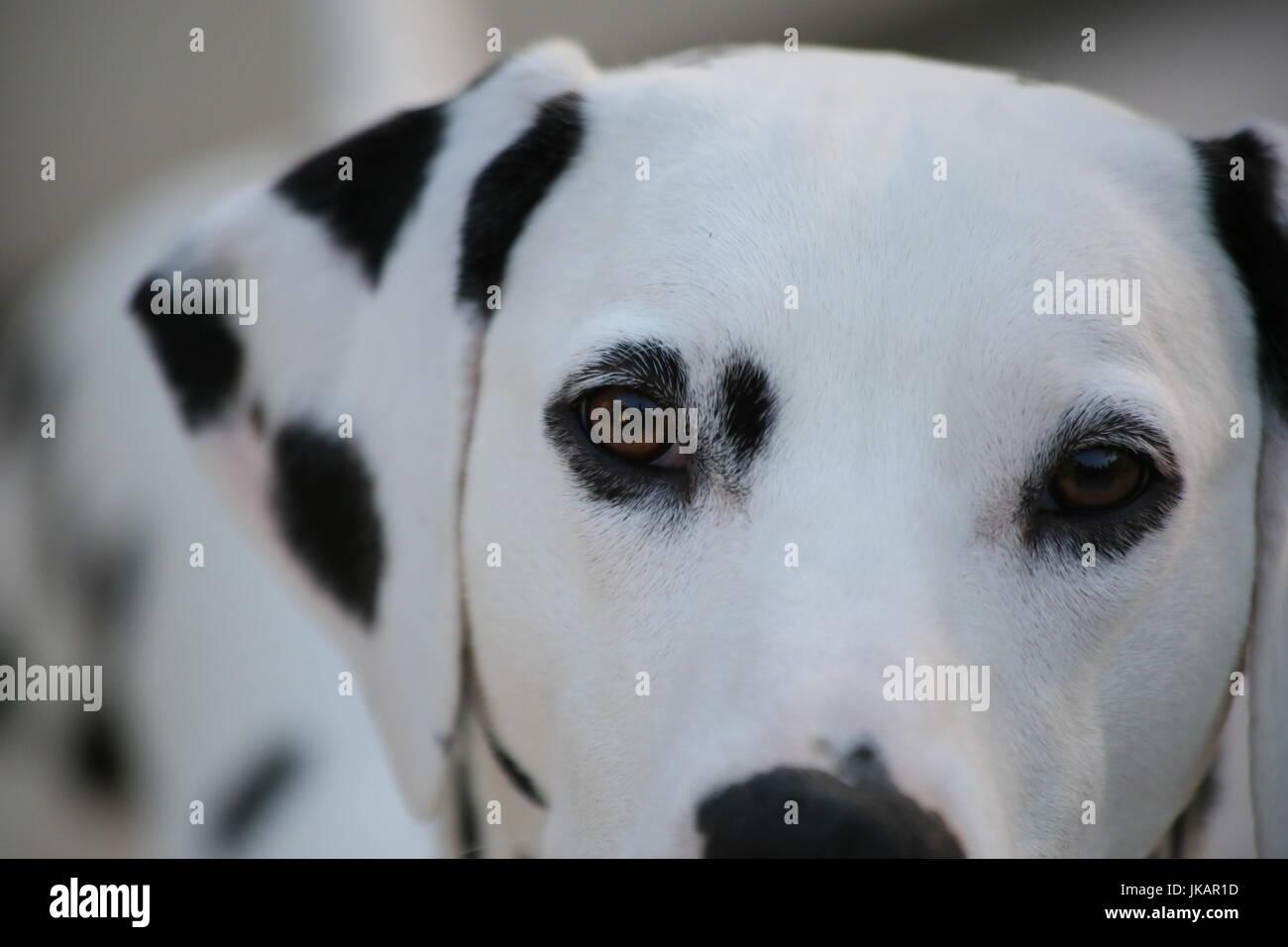 Loving Dalmatian Puppy - Stock Image