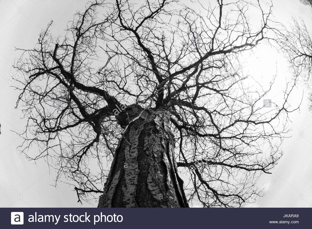 Low angle view of leafless tree in Winter time. The branches form a circular shape due to the wide angle used. - Stock Image