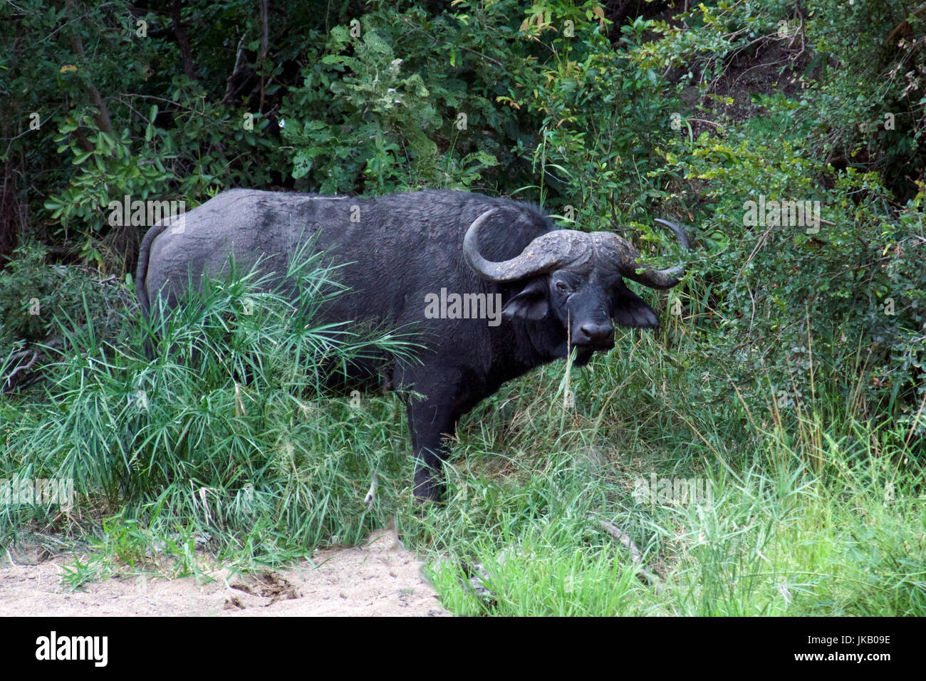 African or Cape Buffalo in dense undergrowth Kruger National Park South Africa - Stock Image