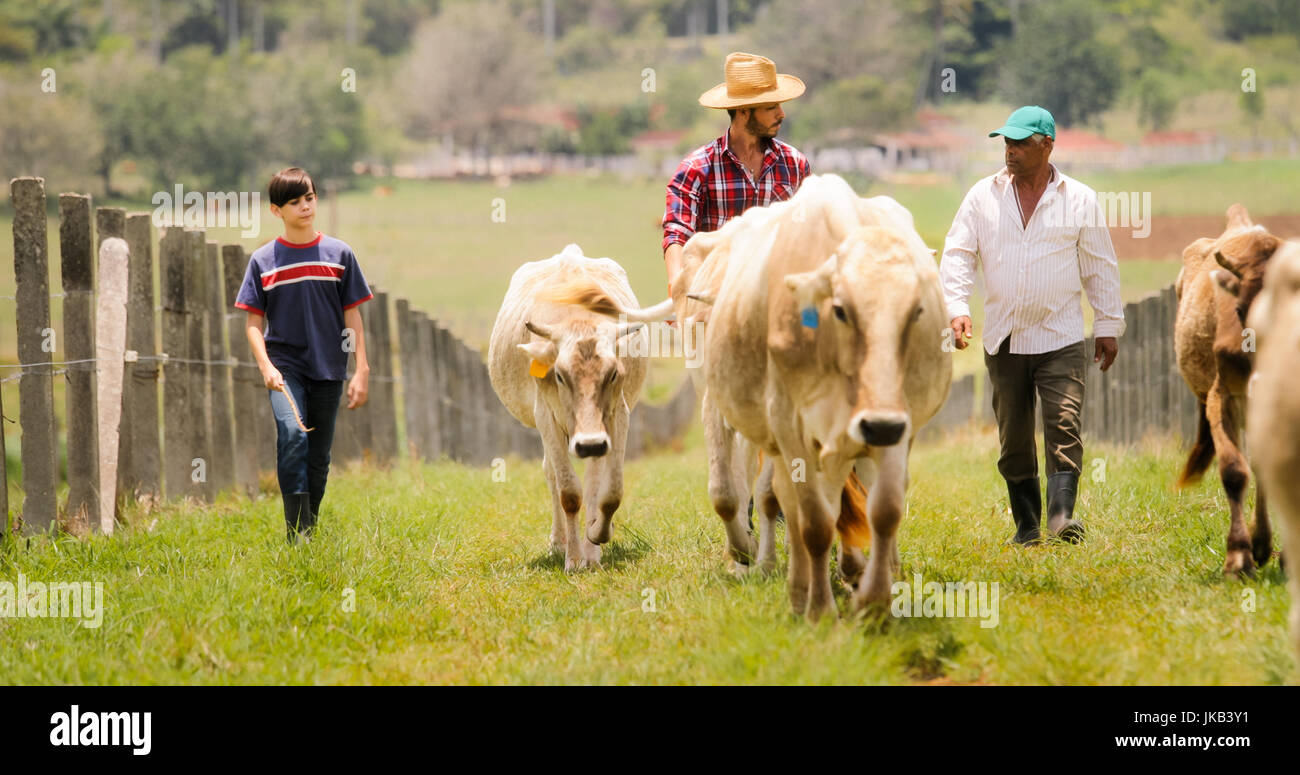 Everyday life for farmer with cows in the countryside. Peasant work in Latin America with livestock in family ranch. Stock Photo