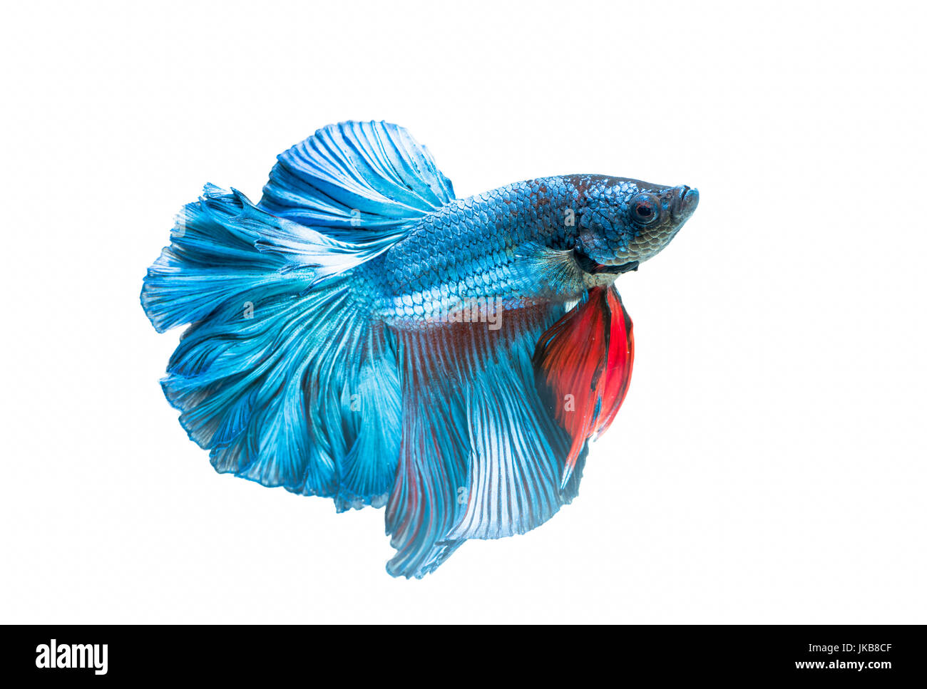 siamese fighting fish, betta splendens isolated on white background, it is popular as an aquarium fish Stock Photo