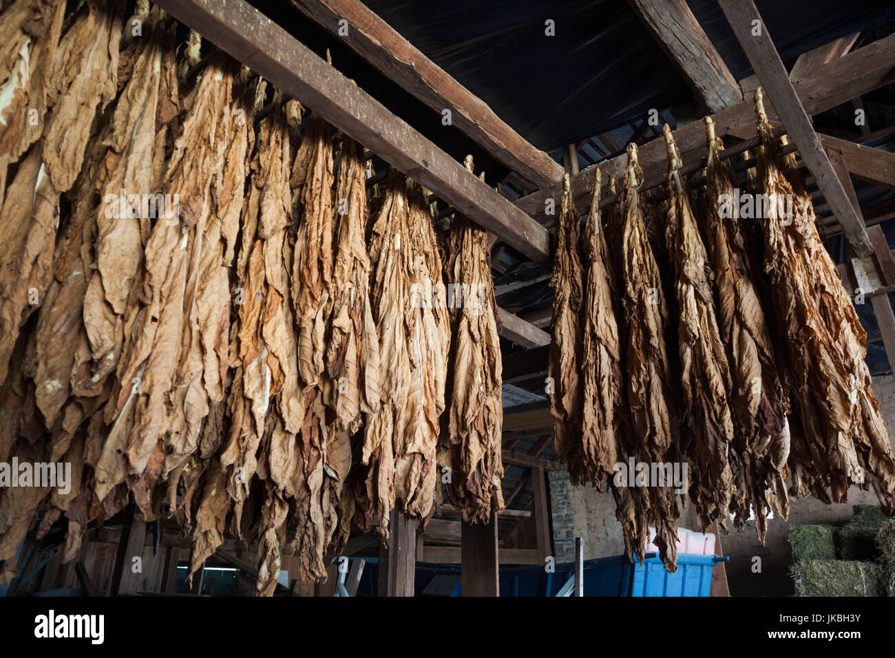 USA, Pennsylvania, Pennsylvania Dutch Country, Lancaster, Amish Farm and House Museum, curing tobacco - Stock Image