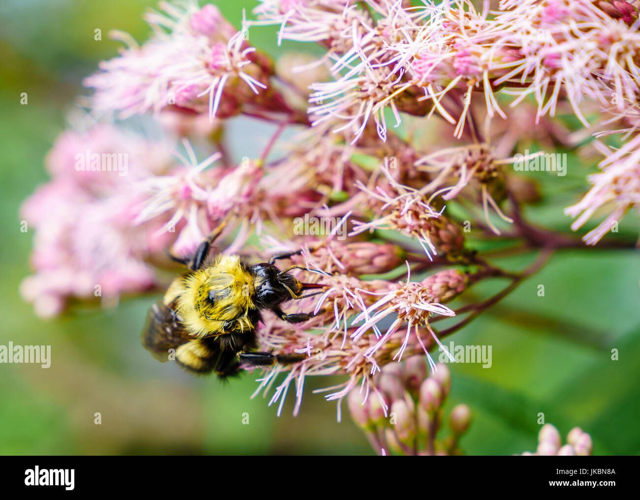 Close-up image of a bee feeding on flowers - Stock Image