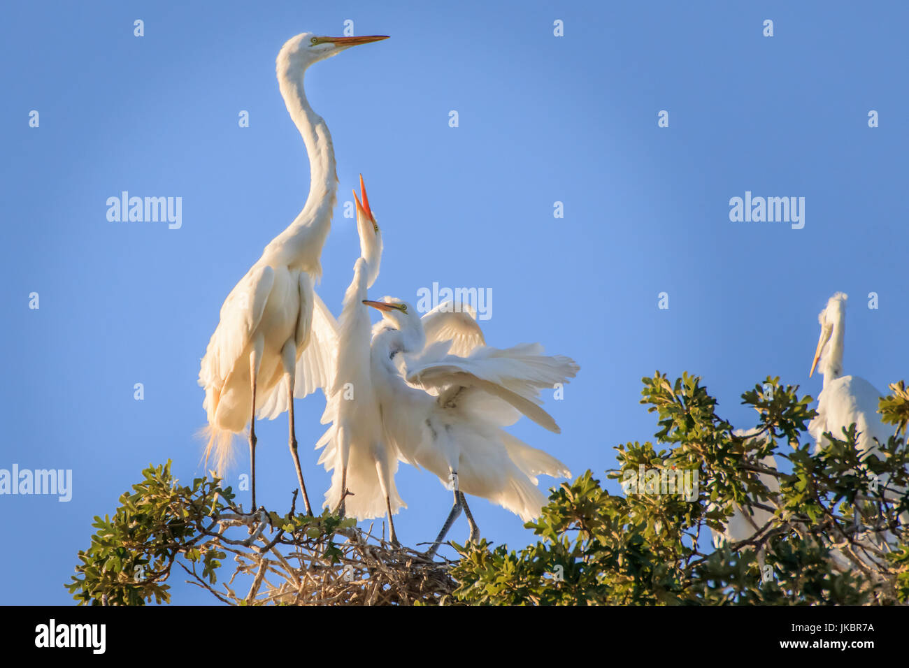 Several Great Egrets interacting in tree tops, - Stock Image