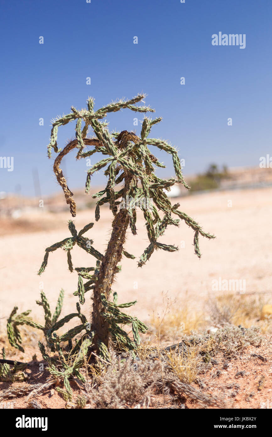 Colorado Buckhorn Cholla Cactus, an invasive plant in the Australian Outback Stock Photo