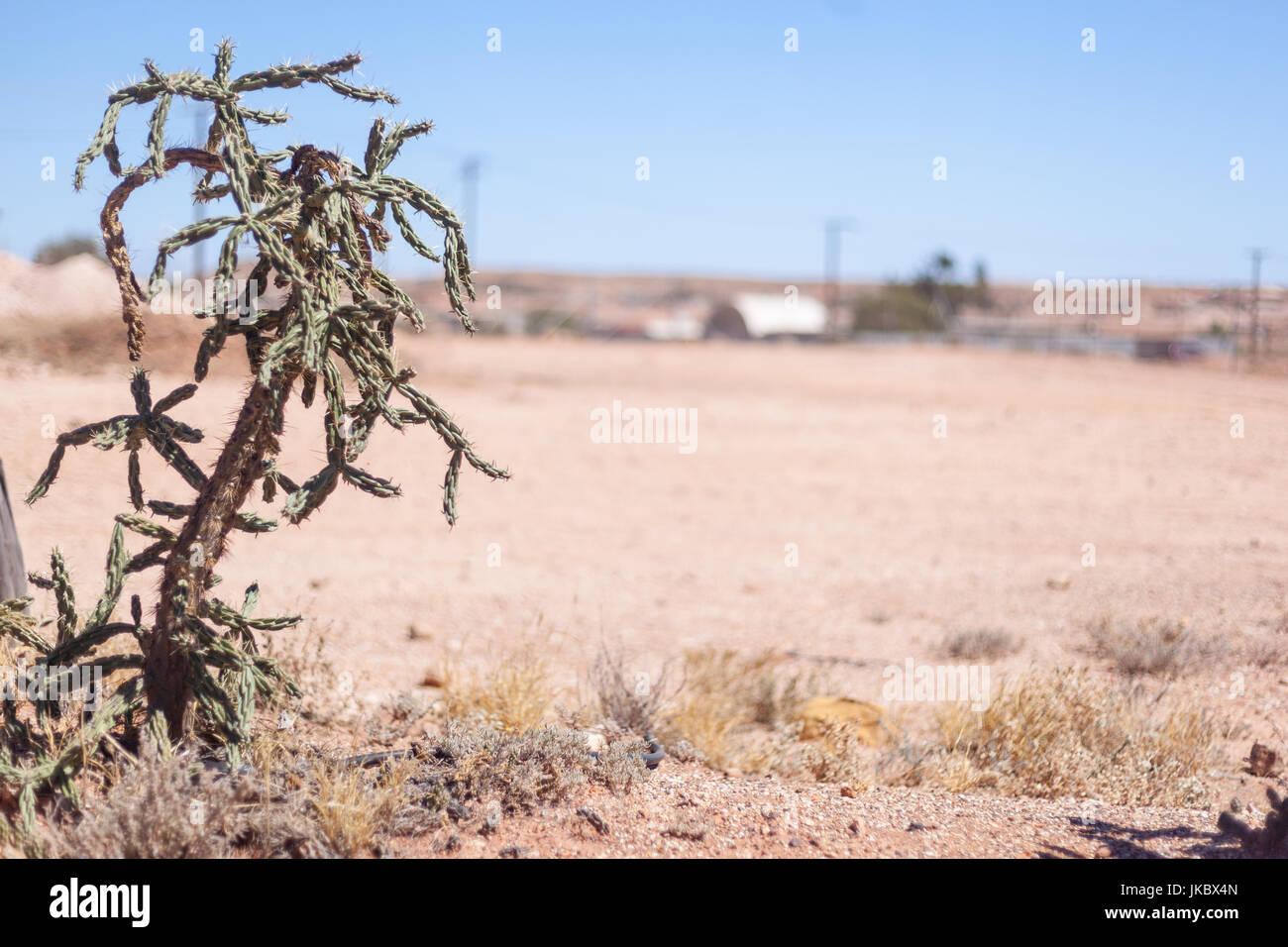 Colorado Buckhorn Cholla Cactus, an invasive plant in the Australian Outback Stock Photo