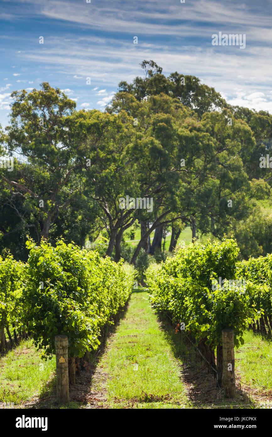 Australia, South Australia, Adelaide Hills, Gumeracha, vineyard - Stock Image