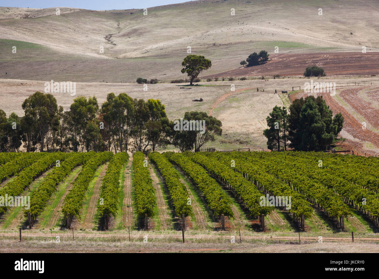 Australia, South Australia, Clare Valley, Auburn, vineyard - Stock Image