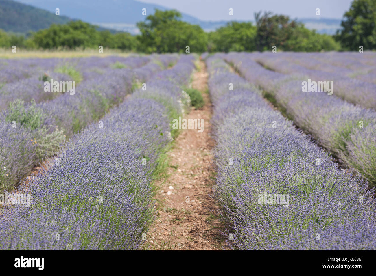 Bulgaria, Central Mountains, Kazanlak, lavender field - Stock Image
