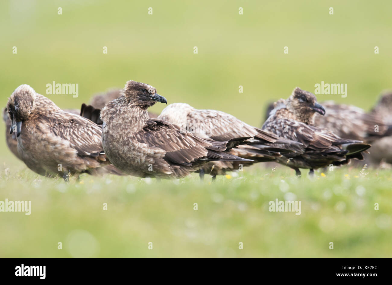 A group of Great Skuas (Catharacta skua) dry off and preen after bathing at a club site, Unst, Shetland, UK - Stock Image
