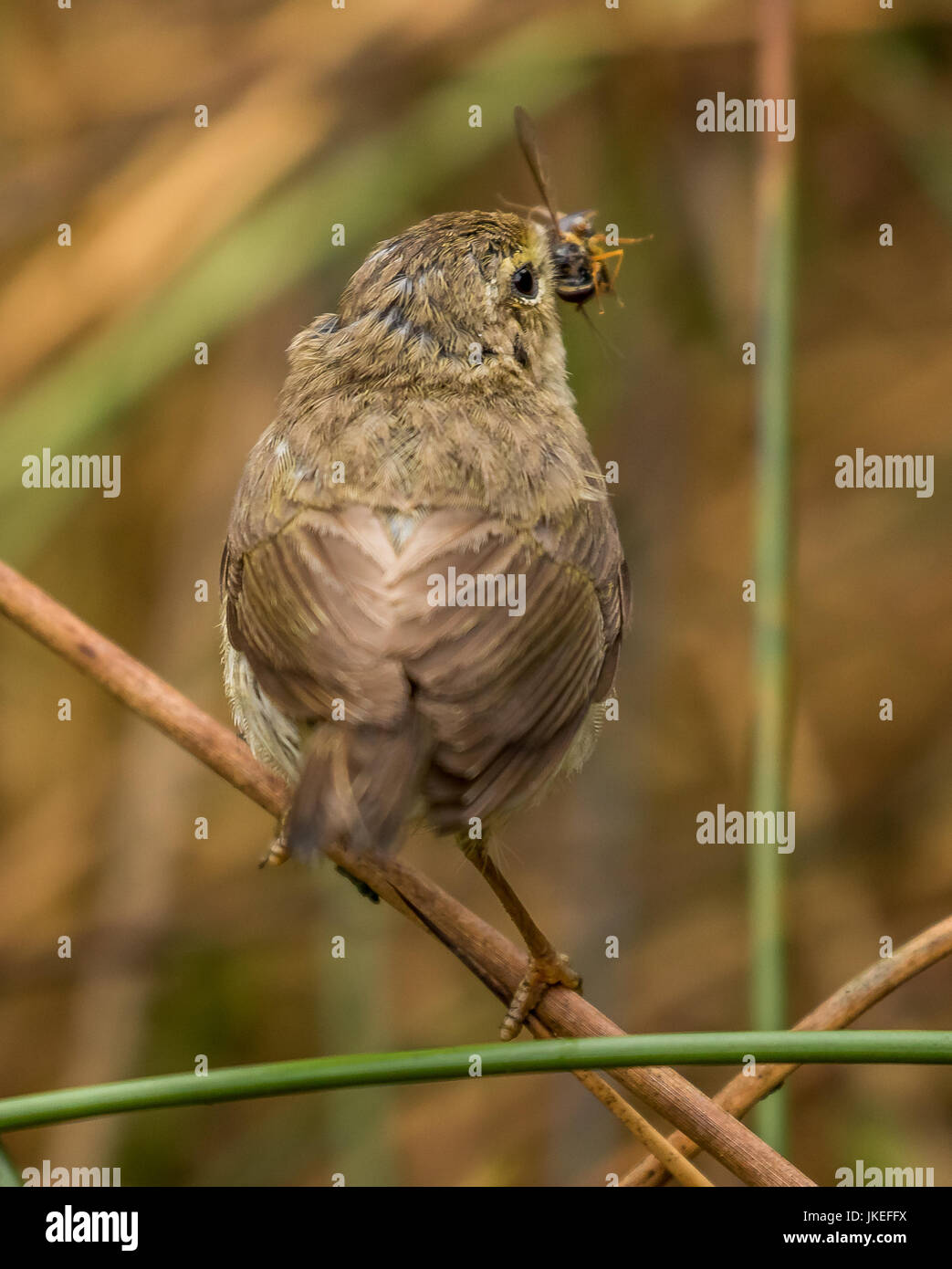 Willow Warbler Stock Photo