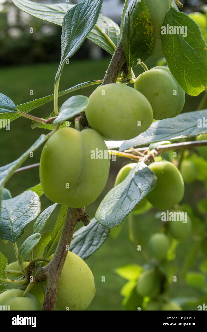 Marjorie's Seedling plums, a late fruiting variety growing on a tree, not yet ripened. - Stock Image