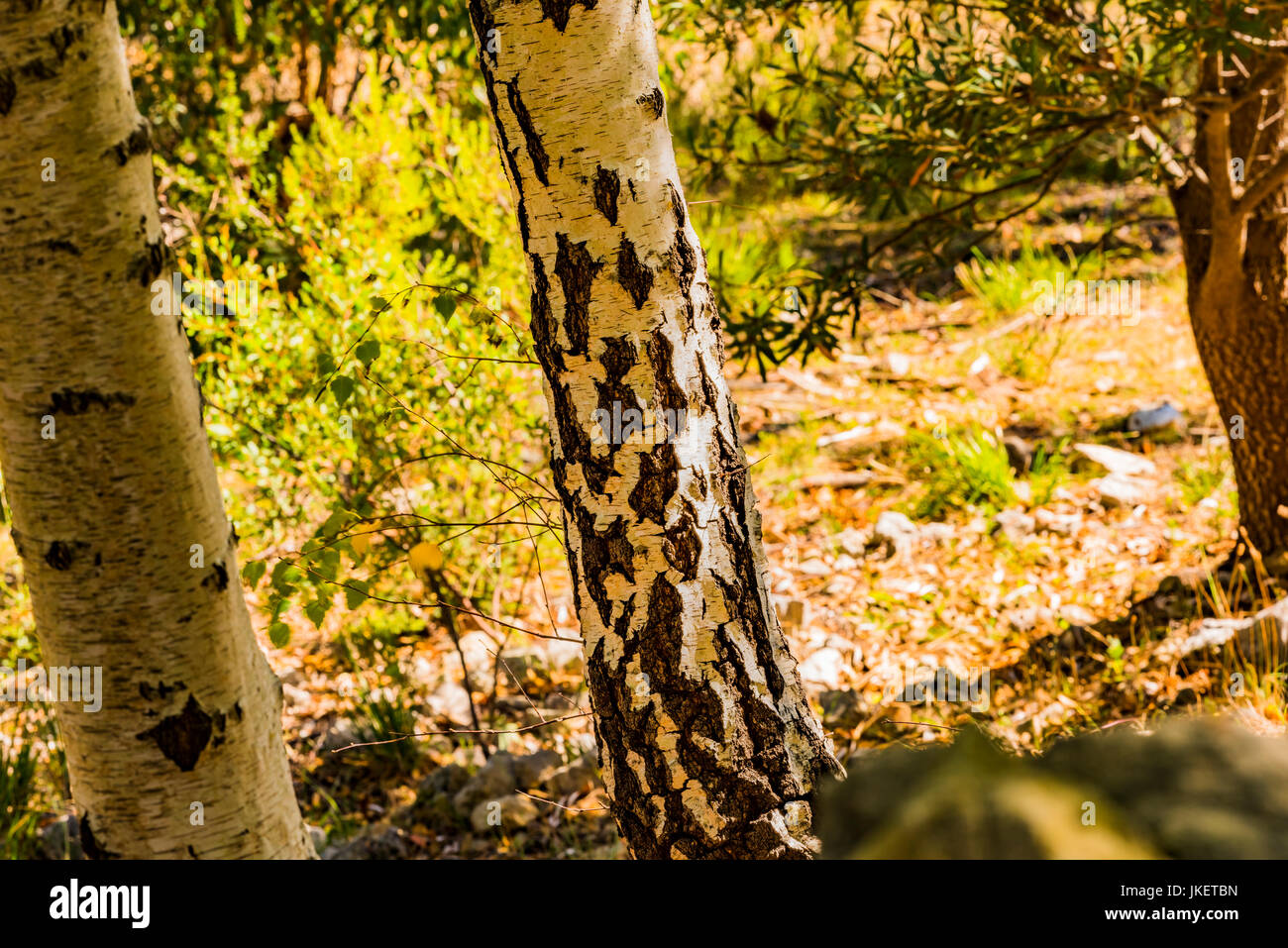 Silver Banksia Tree with its distinctive bark in the Mount Lofty National Park, South Australia - Stock Image