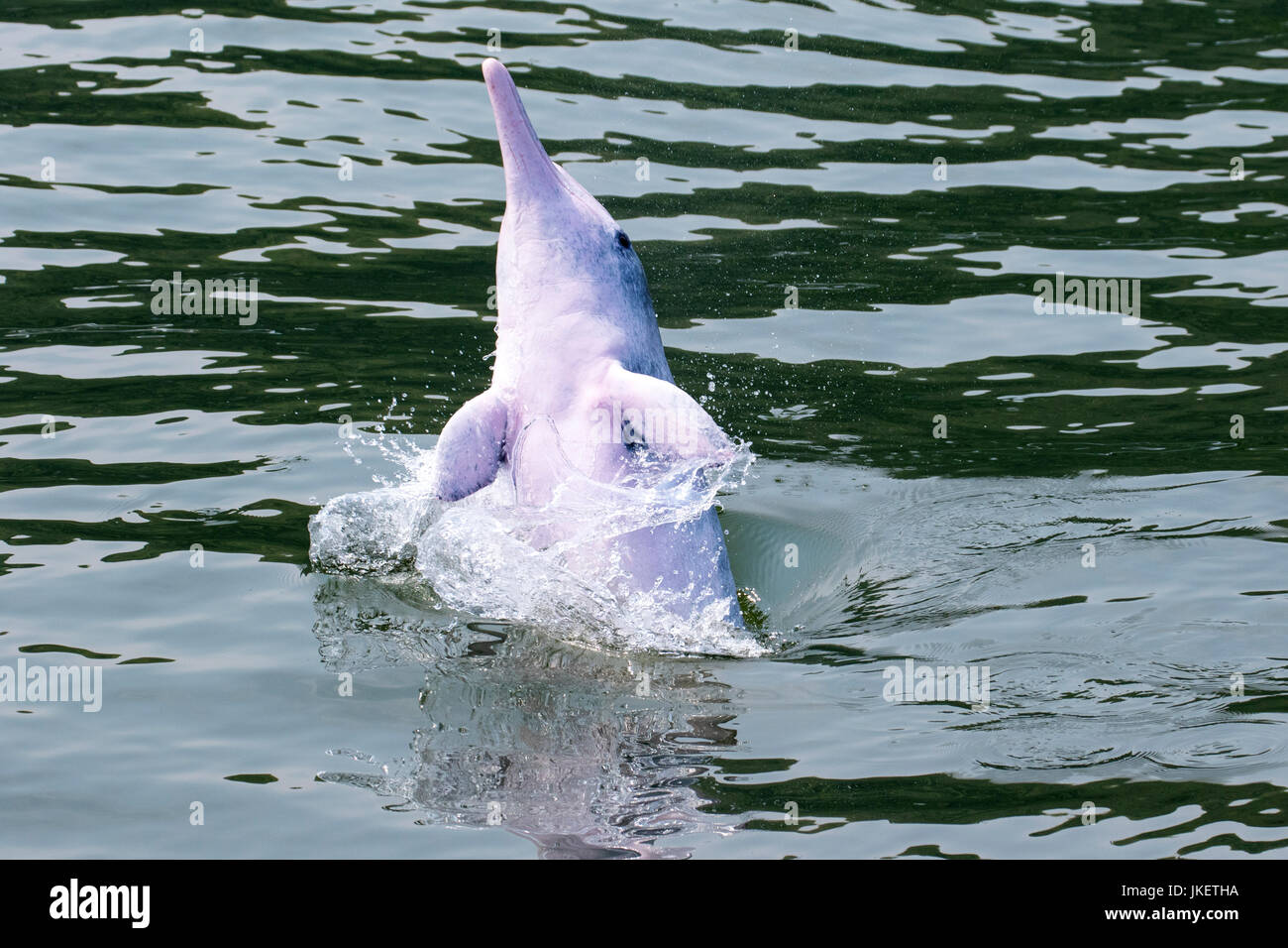 A young playful Indo-Pacific Humpback Dolphin (Sousa chinensis) making a splash in Hong Kong waters - Stock Image