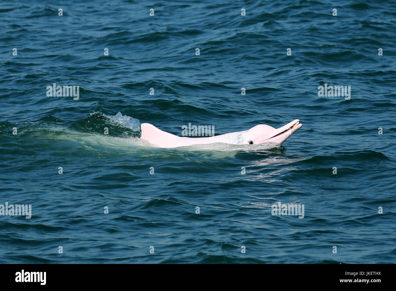 Indo-Pacific Humpback Dolphin (Sousa chinensis) surfacing with a fish in its mouth, showing off his catch - Stock Image