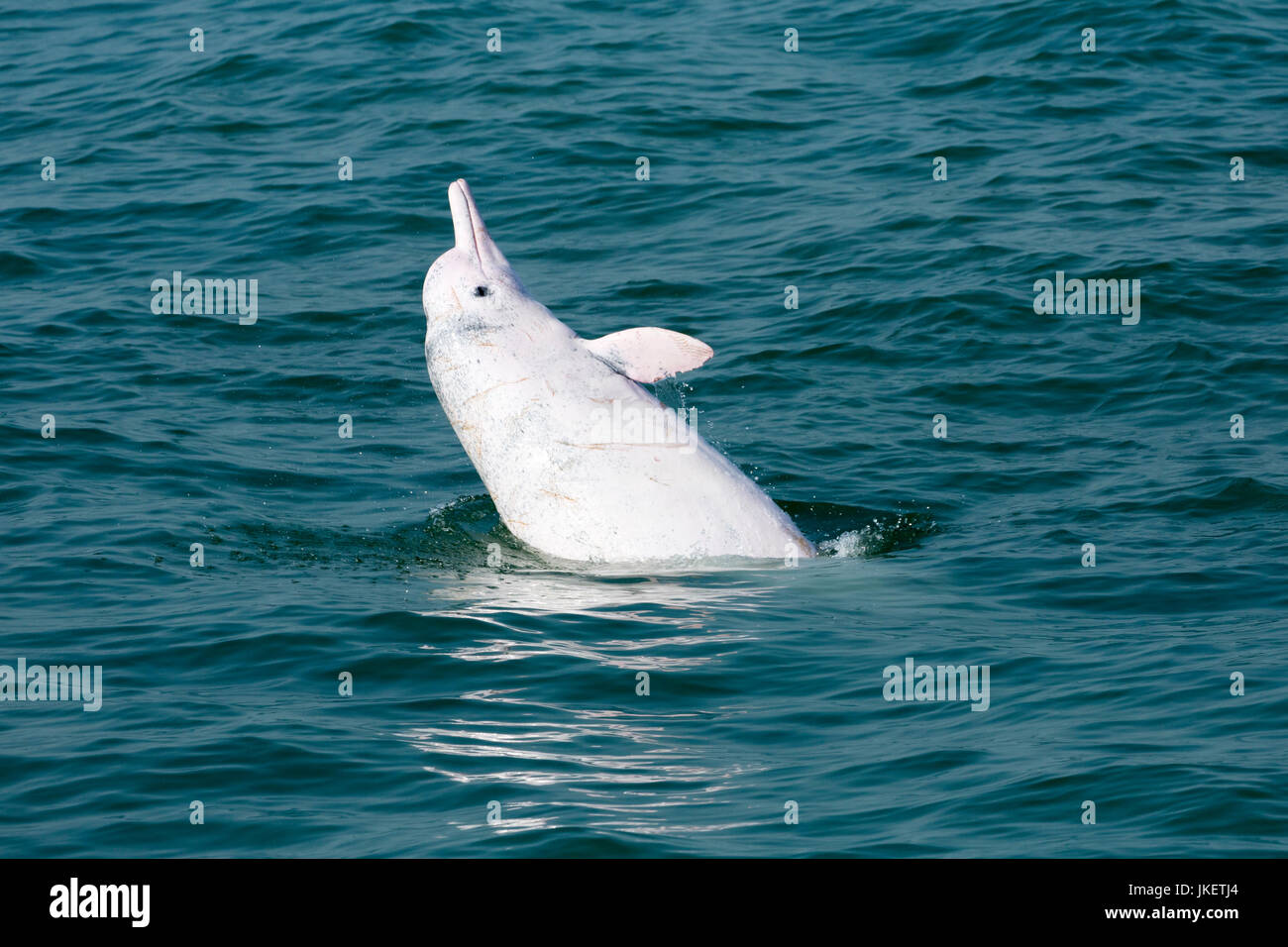 Indo-Pacific Humpback Dolphin (Sousa chinensis) leaping out with a side slap. This coastal species faces many threats - Stock Image