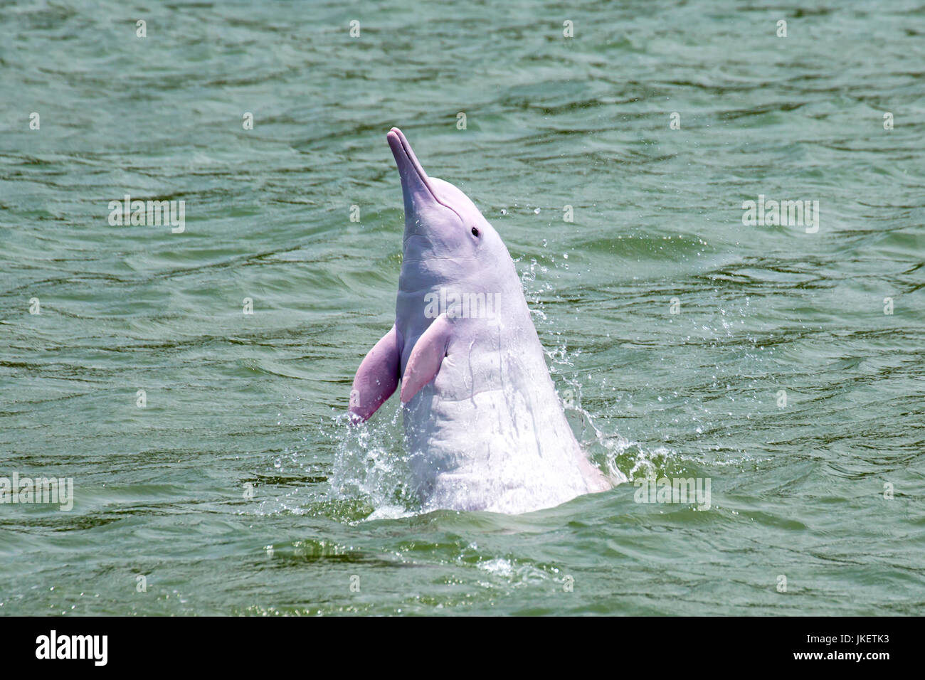 An adult Indo-Pacific Humpback Dolphin (Sousa chinensis) leaping straight out from the water, spyhopping. - Stock Image