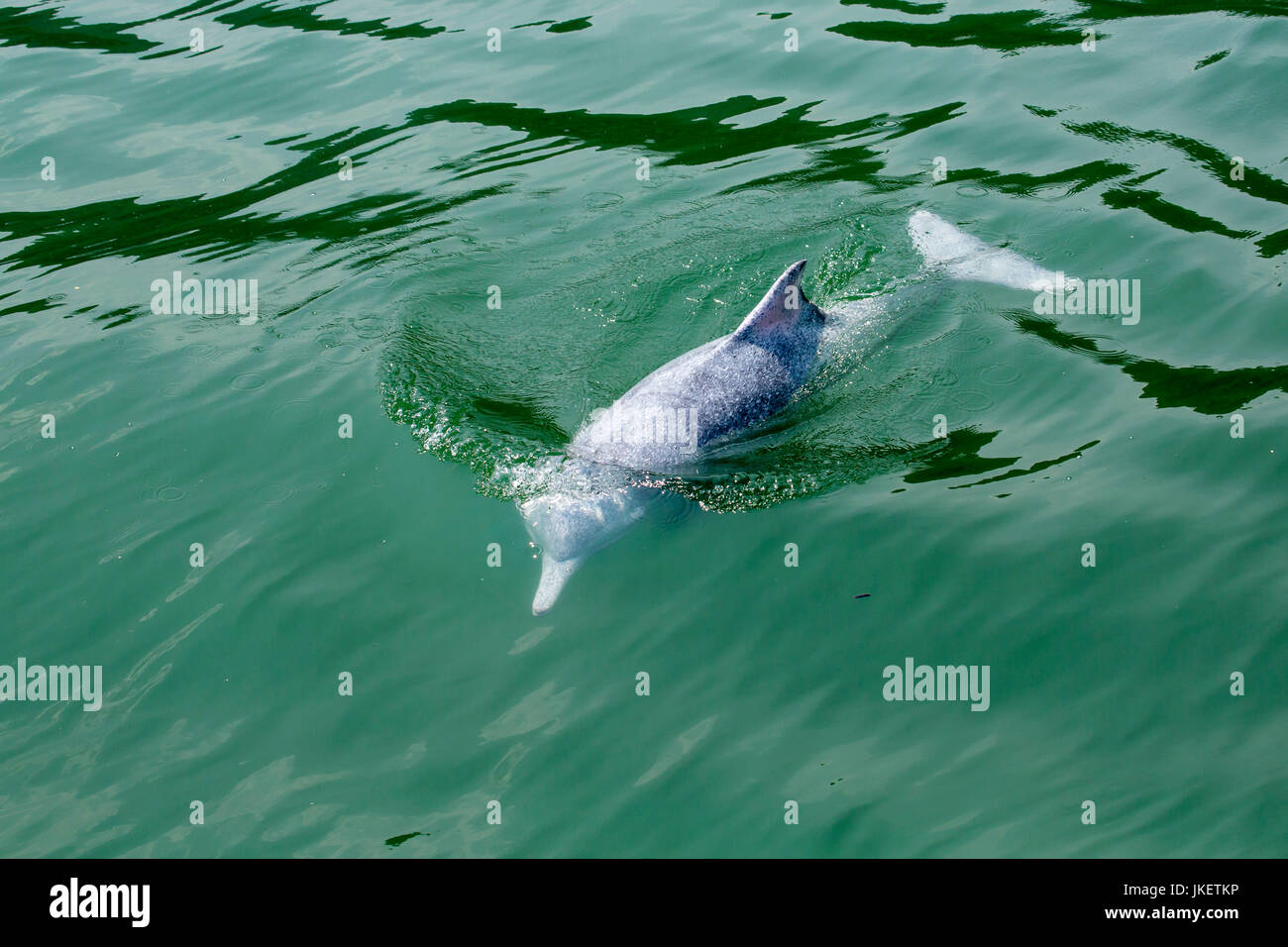 A young Indo-Pacific Humpback Dolphin (Sousa chinensis) surfacing, with beautiful water pattern - Stock Image