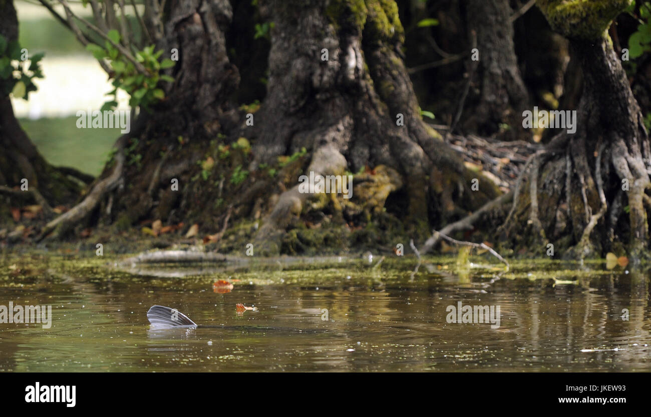 The dorsal fin of a giant carp in a murky pond with alder tree roots in the background. Sevenoaks, Kent, UK. - Stock Image