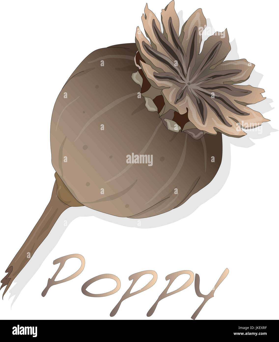 dried poppy head vector isolated on white - Stock Image