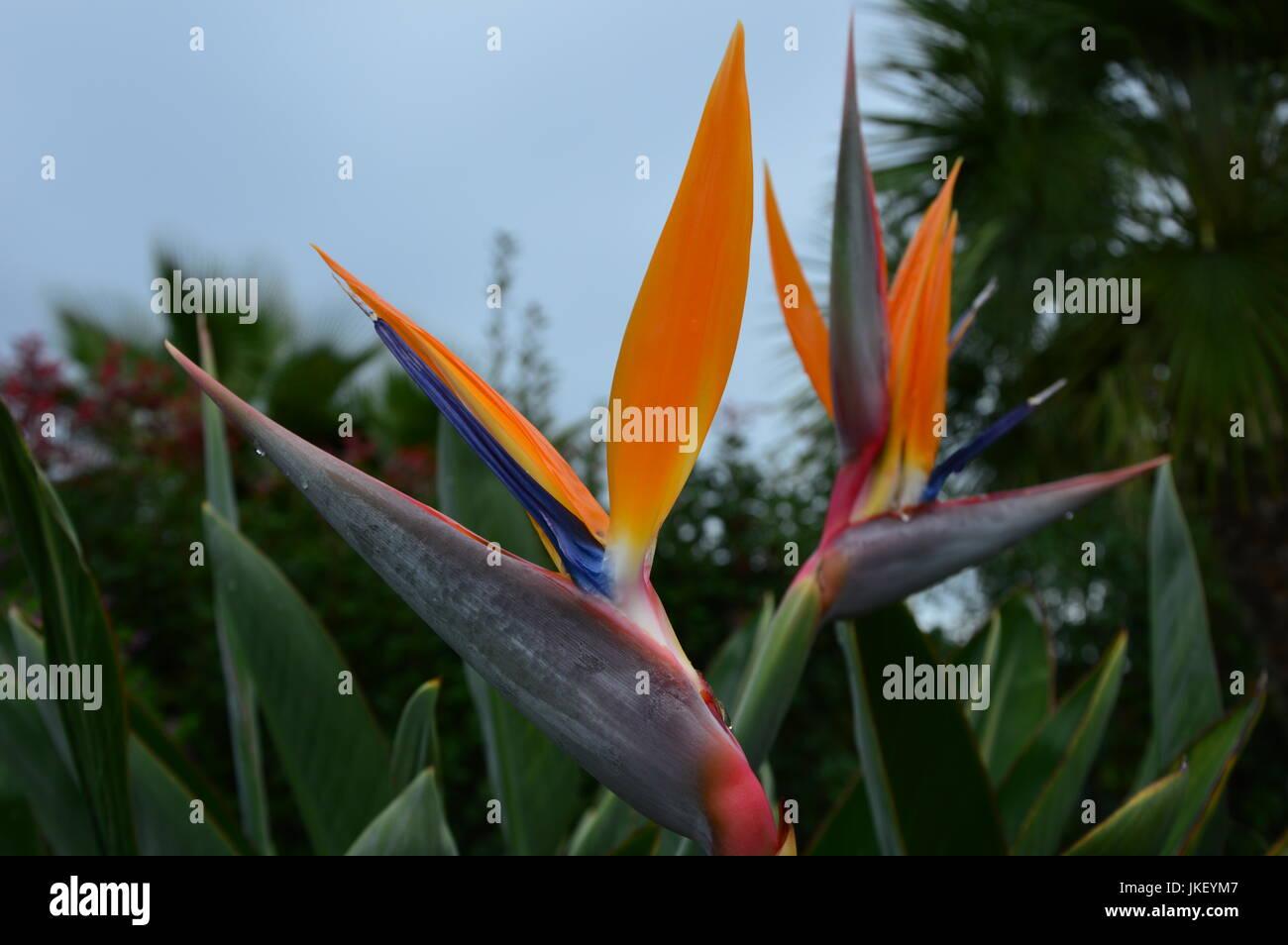 Wet Flower (Strelitzia reginae) - Stock Image