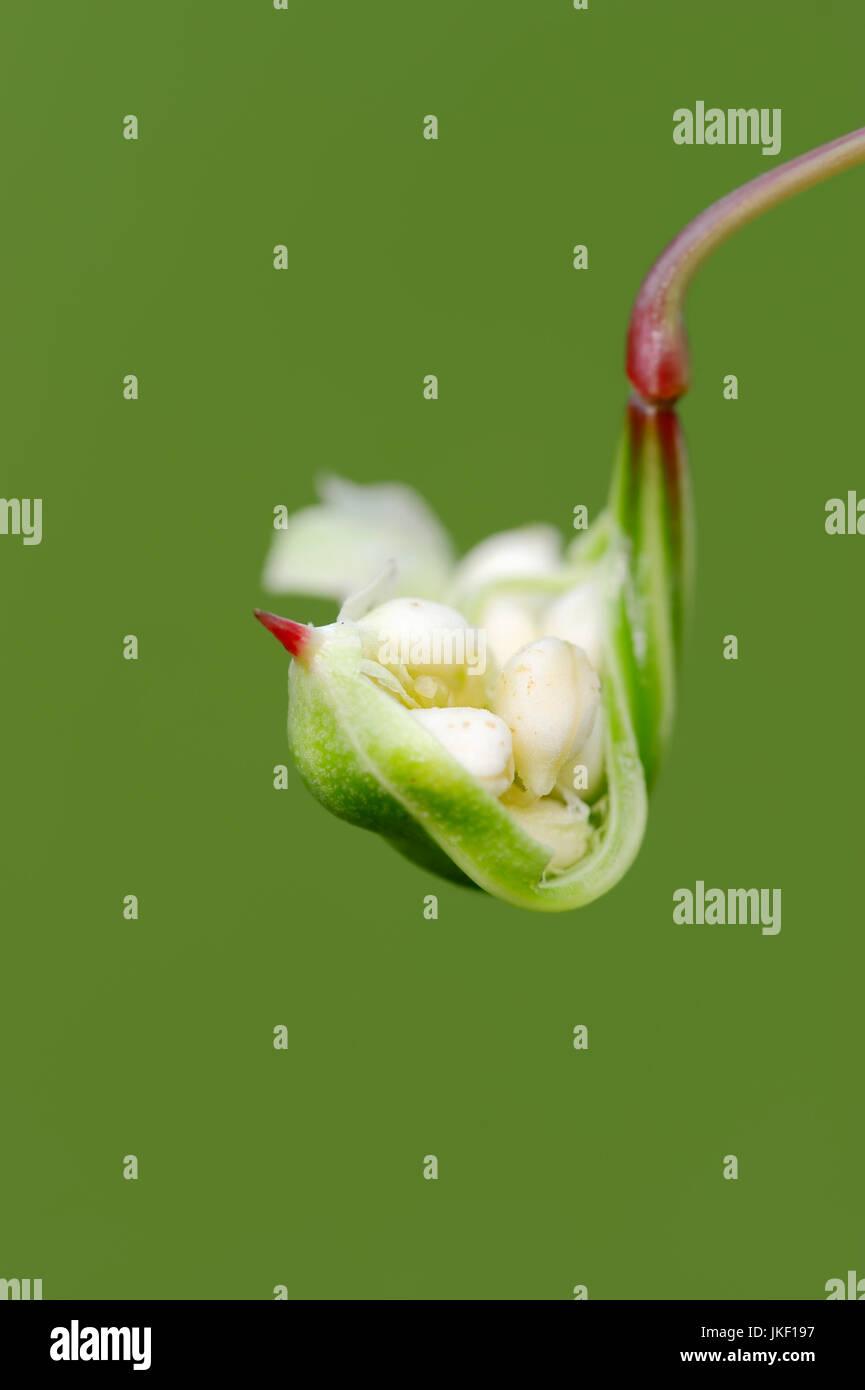 Himalayan Balsam, seedhead with seeds, North Rhine-Westphalia, Germany / (Impatiens glandulifera) / Indian Balsam Stock Photo