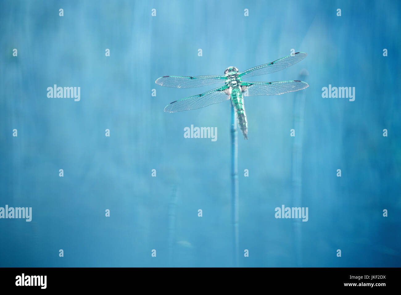 four-spotted libellula, four-spotted chaser, four spot (Libellula quadrimaculata), close-up, full-length portrait, - Stock Image