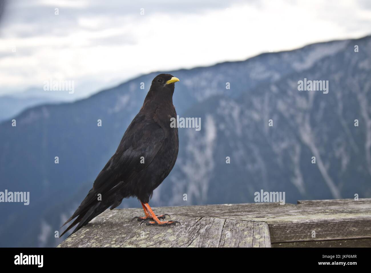 Oscine bird sitting on a handrail in a restaurant in the austrian alps in summer - Stock Image