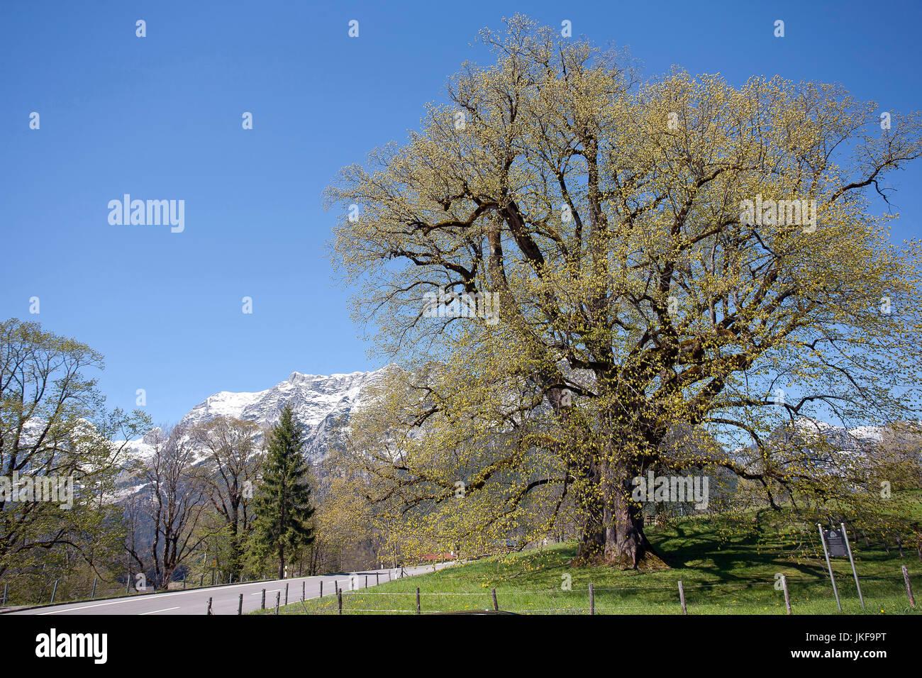 Germany, Bavaria, Ramsau, large leaved linden Hindenburglinde Stock Photo