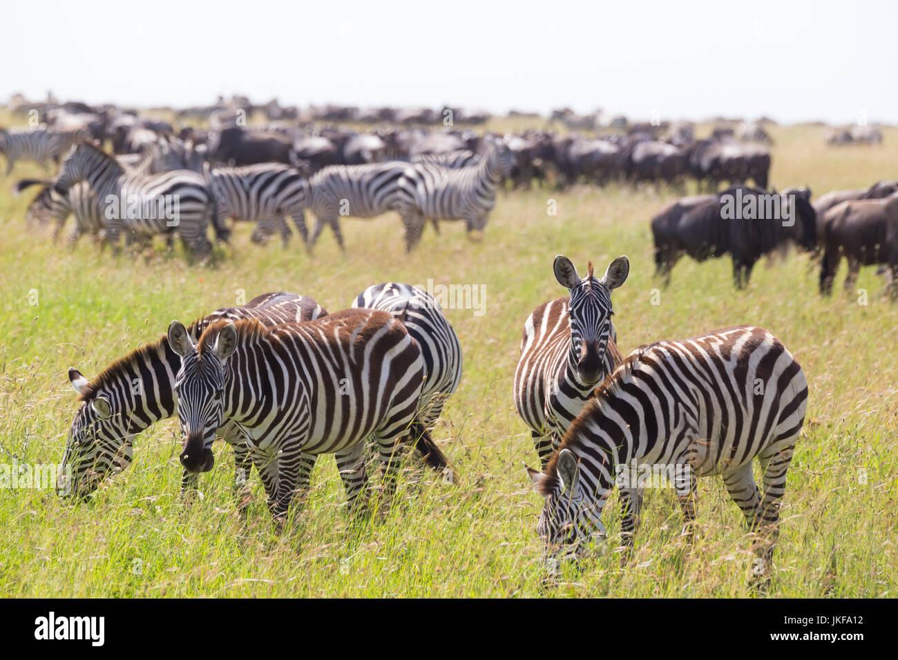 Zebras grazing in Serengeti National Park in Tanzania, East Africa. Stock Photo