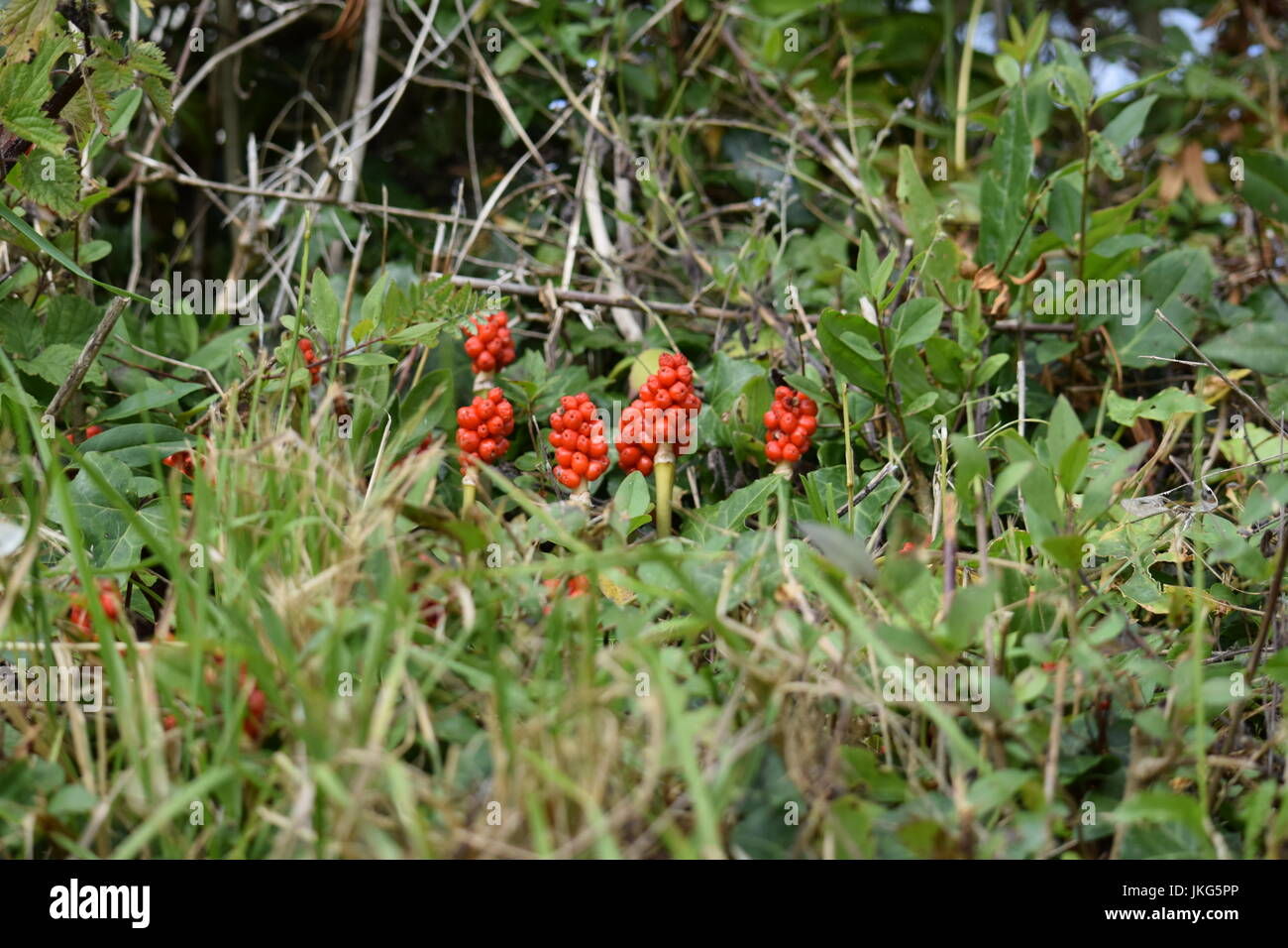 Arum maculatum or Lords and Ladies - Stock Image