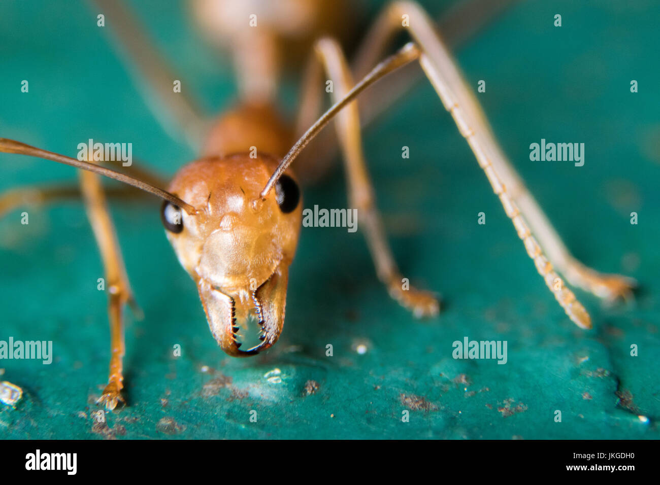 Red ant - Stock Image
